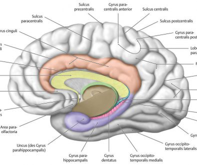 Gyrus Dentatus